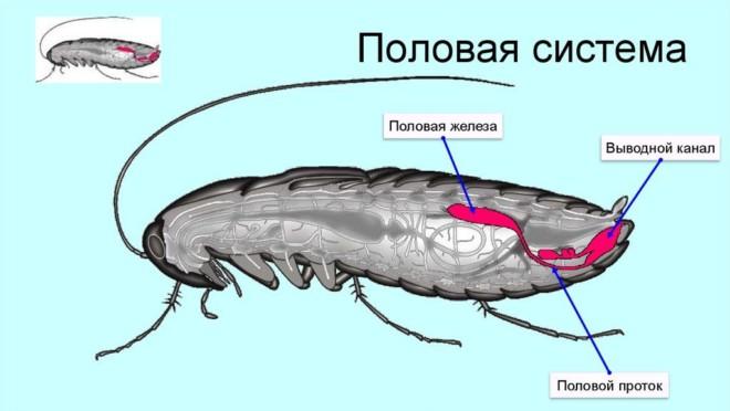 Половая система таракана