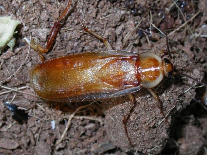 Азиатский таракан