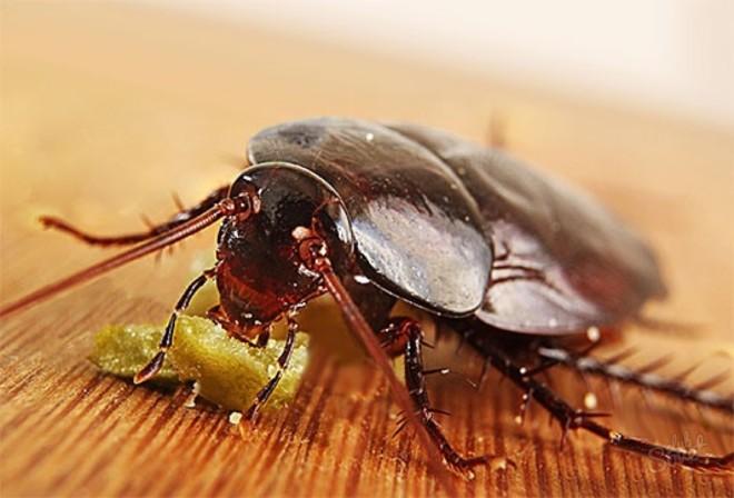 Черный таракан ест