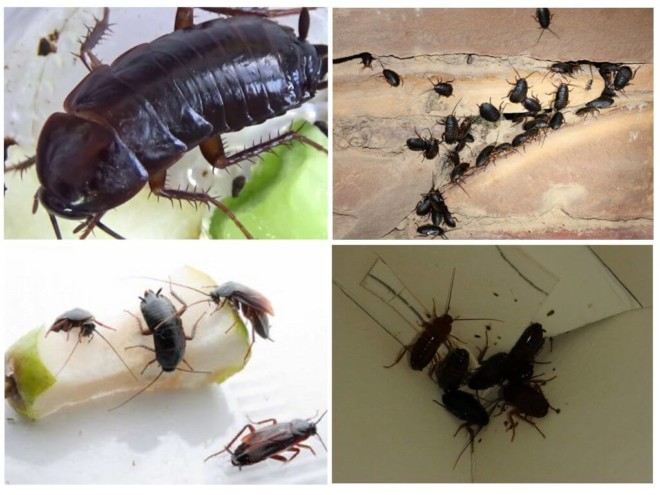 Черный таракан в доме