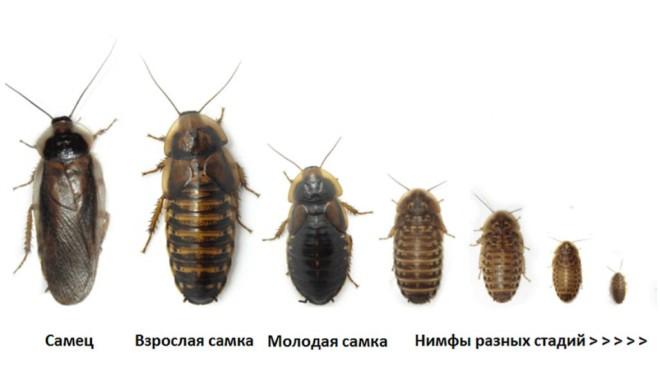 Как выглядит самец и самка таракана