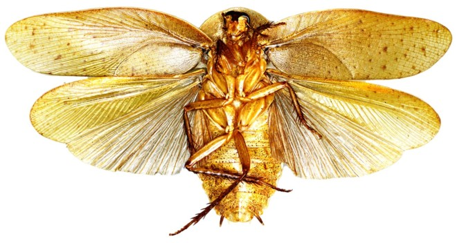 Крылатый таракан