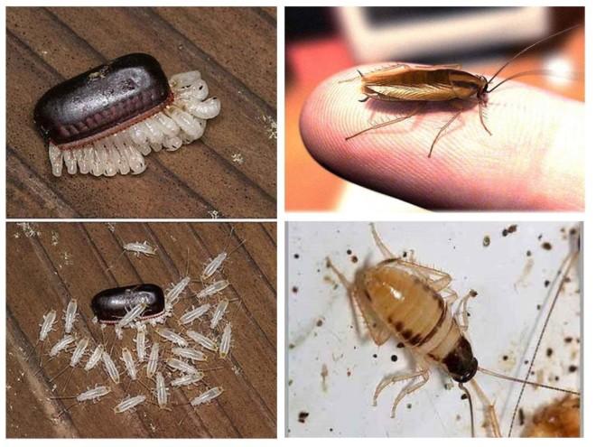 Метаморфозы тараканов