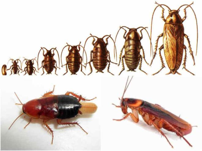 Размножение тараканов рыжих