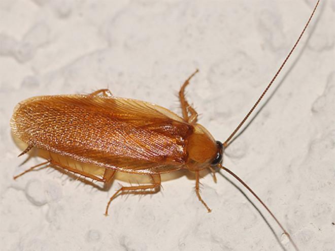 Рыжий таракан на фото