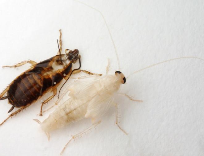 Таракан скидывает хитину