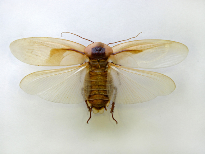 Таракан с крыльями