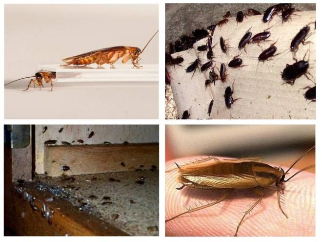 Тараканы в доме и квартире