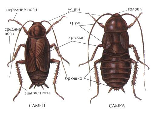 Внешний вид таракана