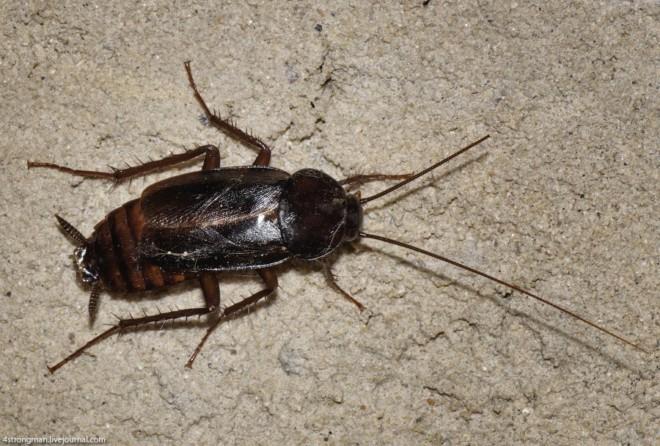 Черный крымский таракан