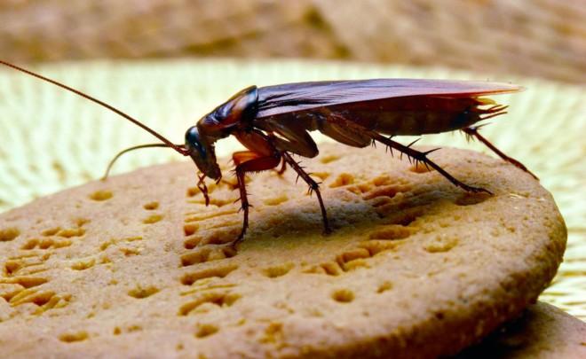 Американский таракан ест
