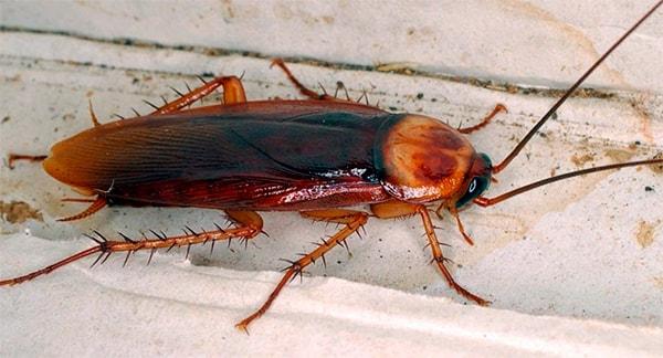 Американский таракан - фото