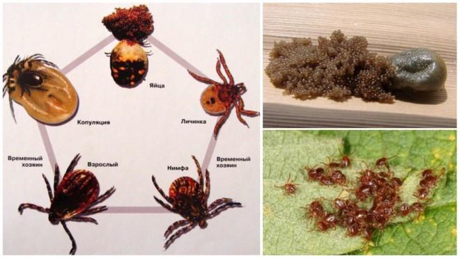 Как размножаются клещи - подборка