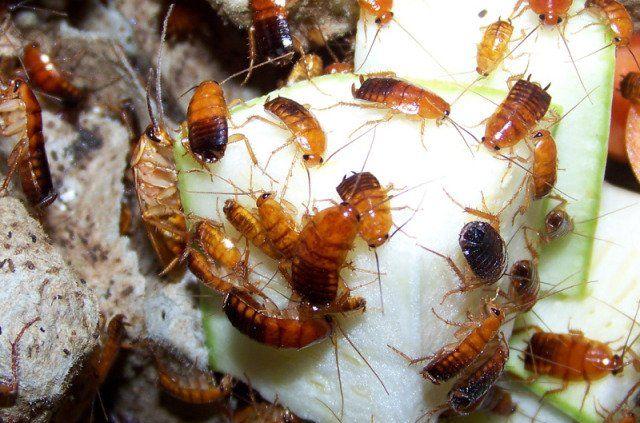 Корм для тараканов