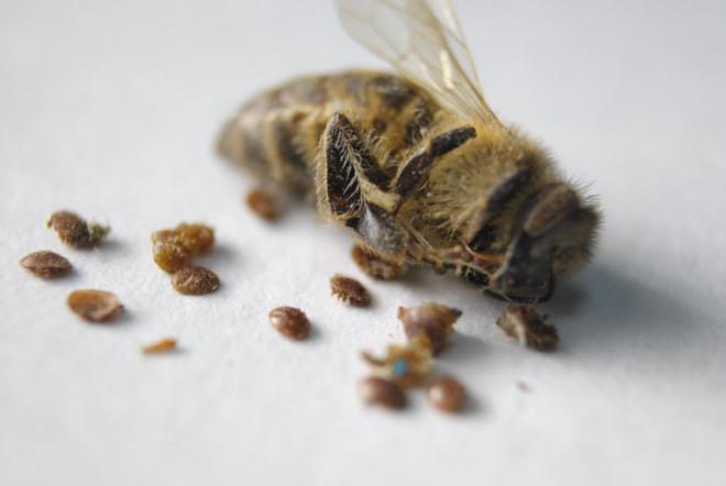 Мертвая пчела