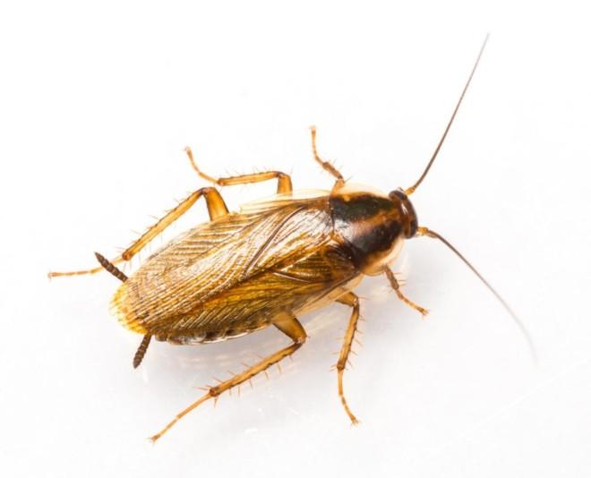 Немецкие тараканы