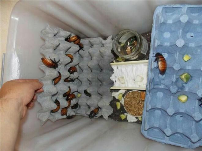 Обустройство инсектария для тараканов
