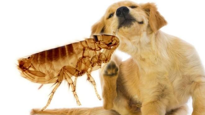 Собака чешиться от блох