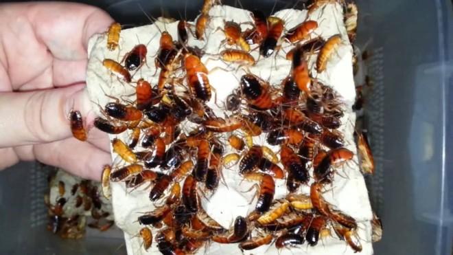 Туркменские тараканы на корм