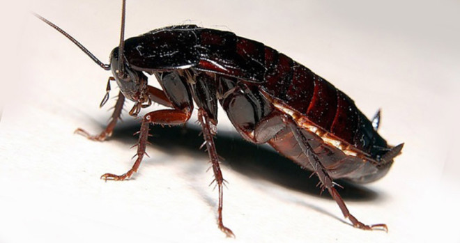 Восточные тараканы