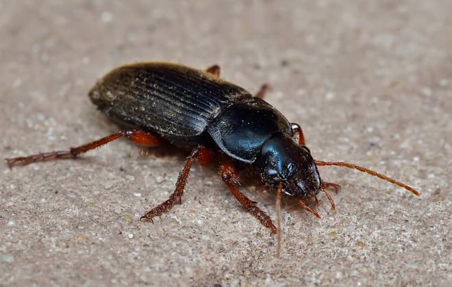 Жуки похожие на тараканов