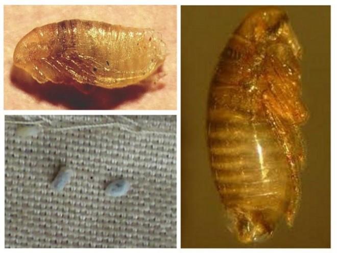 Блоха личинка