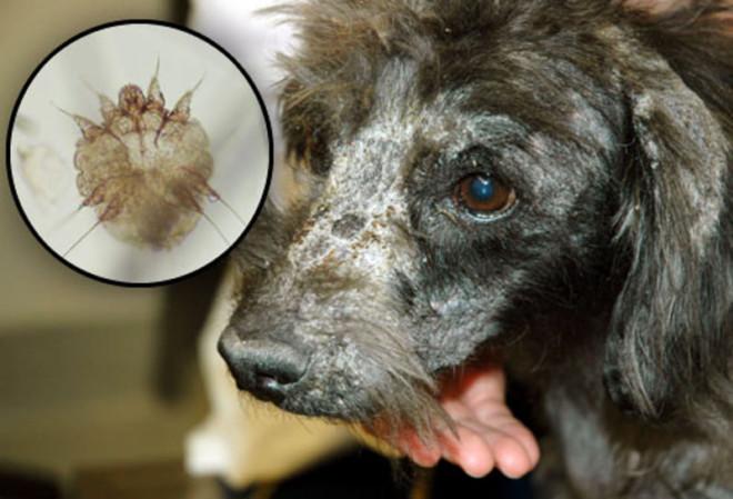 Чесоточные клещи у собаки на носу
