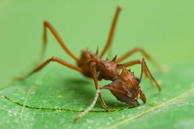 Мравьи листорезы