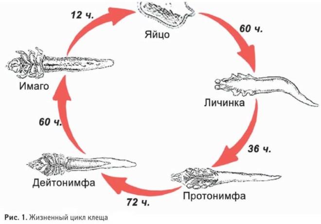 Железница угревая - жизненый цикл