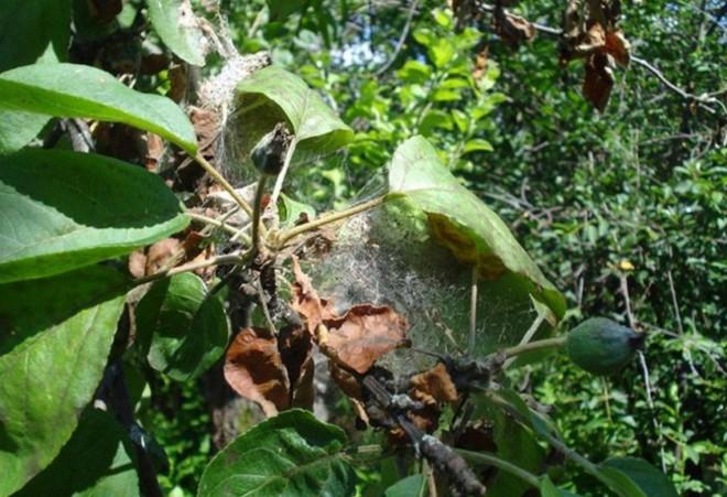 Паутинный клещ на дереве