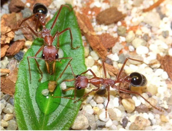 Питание муравья Бульдога