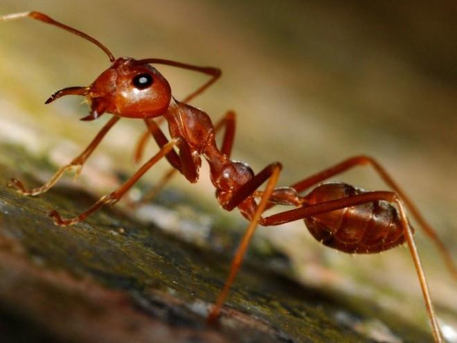 Рыжие лесные муравьи