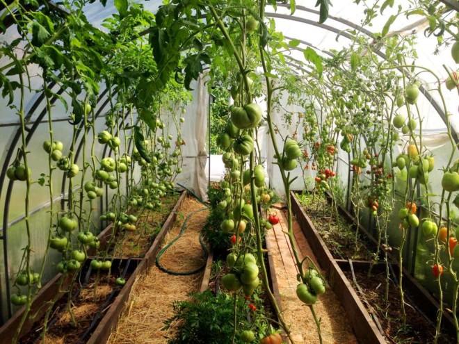Теплица с томатами