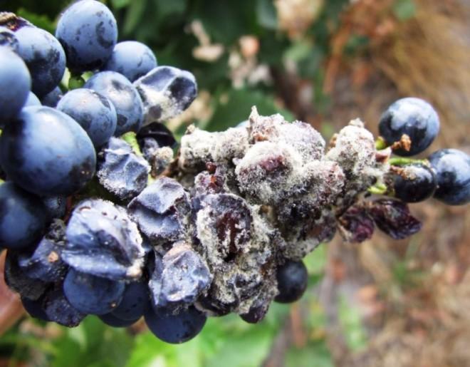 Виноград заражон