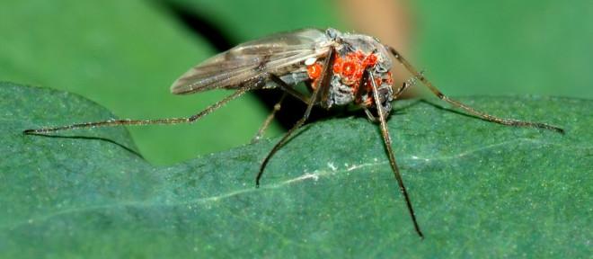 Водяной клещ на комаре