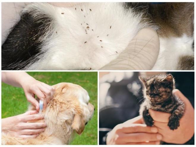 Блохи на кошке и собаке
