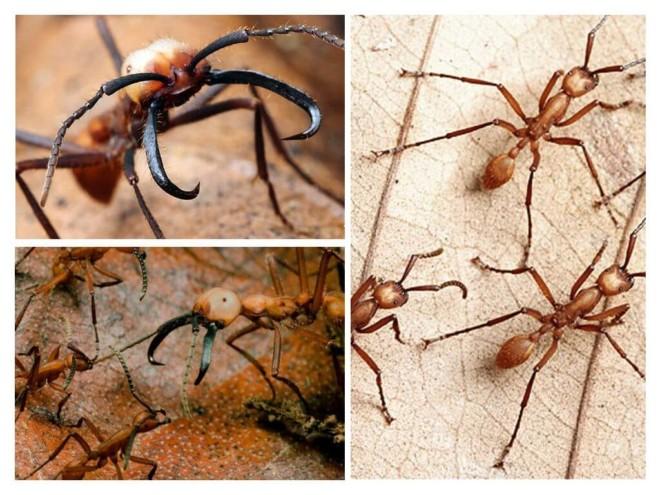 Кочевые муравьи подборка