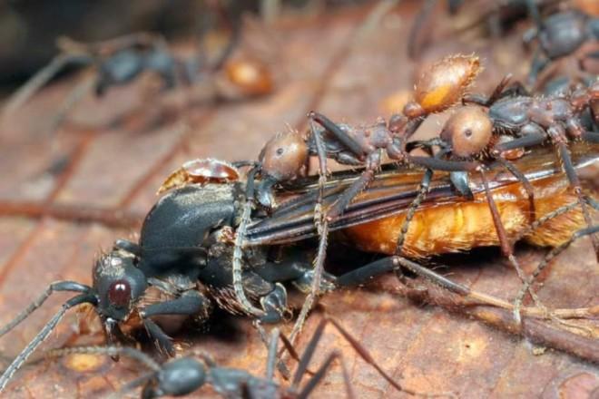 Кочевые муравьи в деле