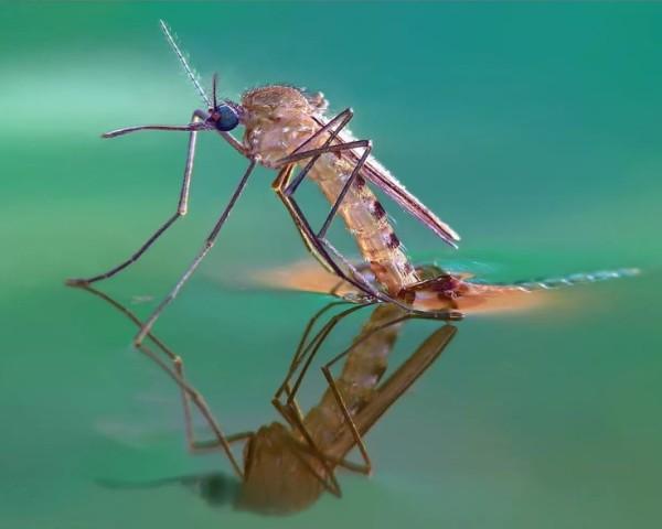 Комар и его строение