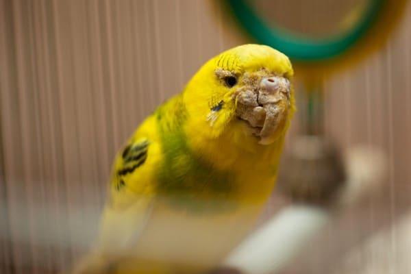 Нарост на клюве попугая