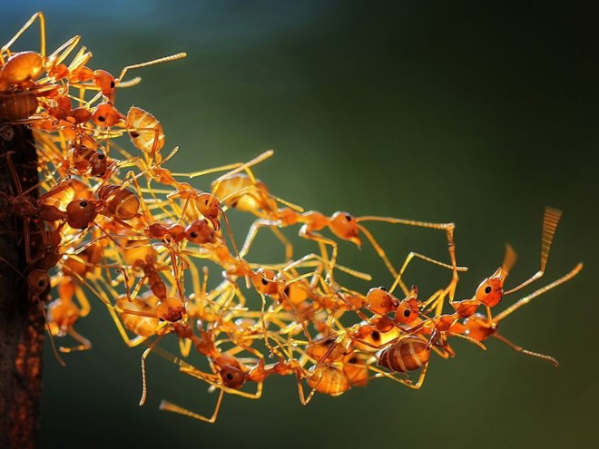 Огненные муравьи в куче