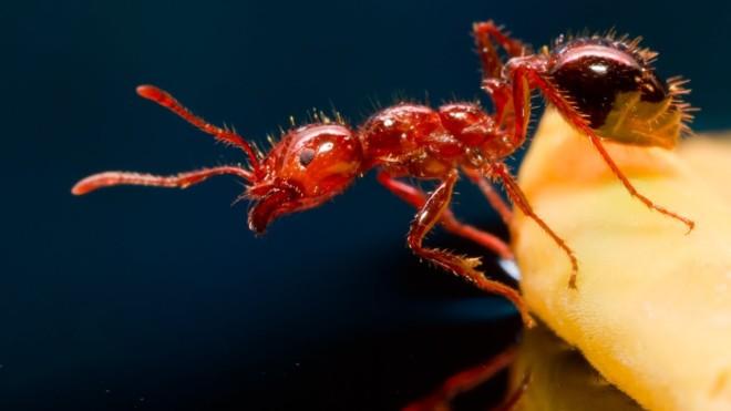 Огненные муравьи