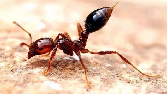 Огненный муравьи