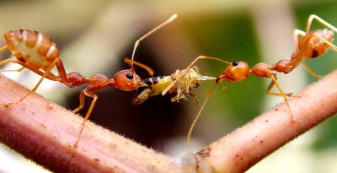 Огненый муравьи питаются