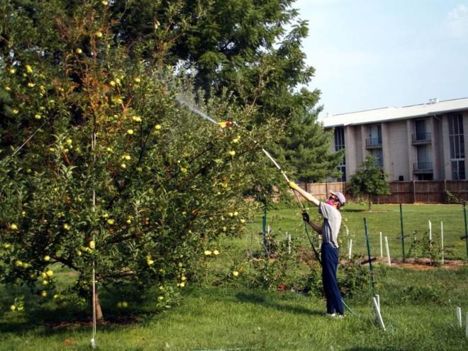 Опрыскивает яблоню