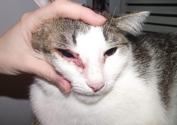 Псевдосаркоптоз у кошки