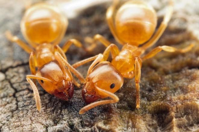 Желтый муравеи