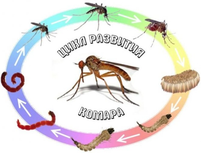 Жизненный цикл развития комара