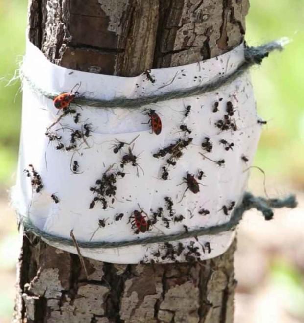Защита деревьев ловушкой от муравьев