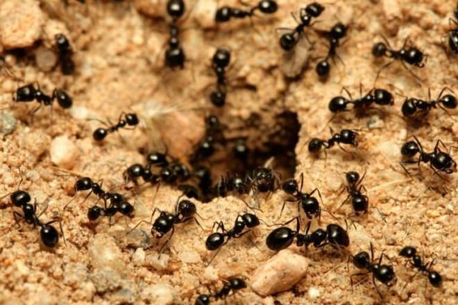 Черные муравьй
